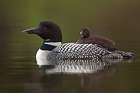 Common Loon calling while swimming with chick on its back
