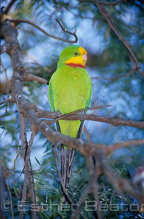 Superb Parrot (Polytelis swainsonii) male, southeastern Australia