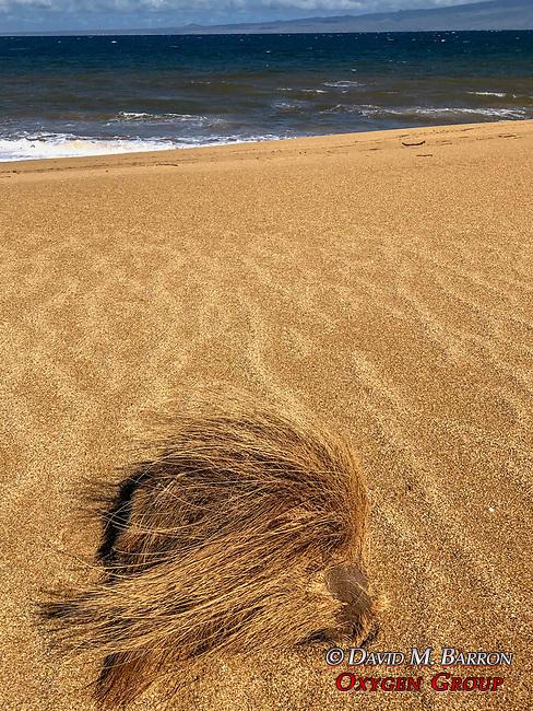 Coconut, Polihua Beach