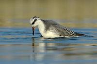 Grey Phalarope - Phalropus lobatus - Winter Adult