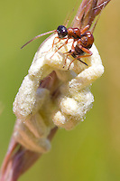 Cocoons of parasitic wasp larvae being parasitised in turn. Dorset, UK.