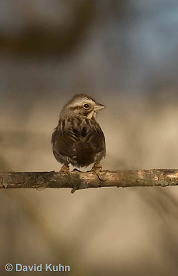 0106-1007  Chipping Sparrow, Young and First Winter, Spizella passerina  © David Kuhn/Dwight Kuhn Photography