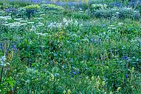 France, Hautes-Alpes (05), Villar-d'Arène, jardin alpin du Lautaret, prairie avec flore locale le matin