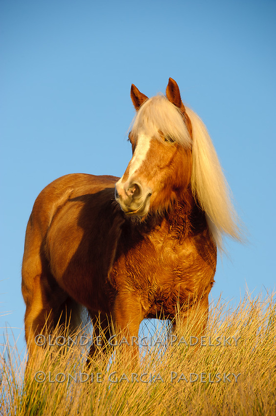 Palomino Horse on the Central Coast, California