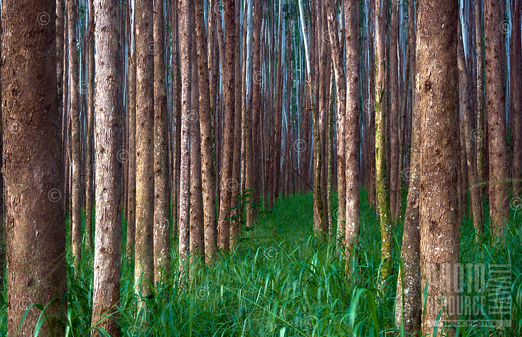 A forest of eucalyptus trees seems to go forever along the Hamakua coast of the Big Island of Hawai'i.
