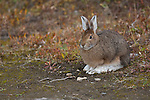 Portrait of a snowshoe hare sitting on the tundra in Denali National Park, Alaska.
