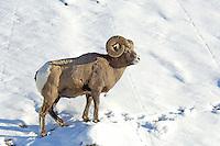 Bighorn ram in winter, Jasper NP, Alberta, Canada