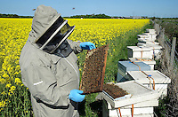 A beekeeper inspecting a frame of honeycombe from a bee hive at the side of an oilseed rape field..Lancashire.