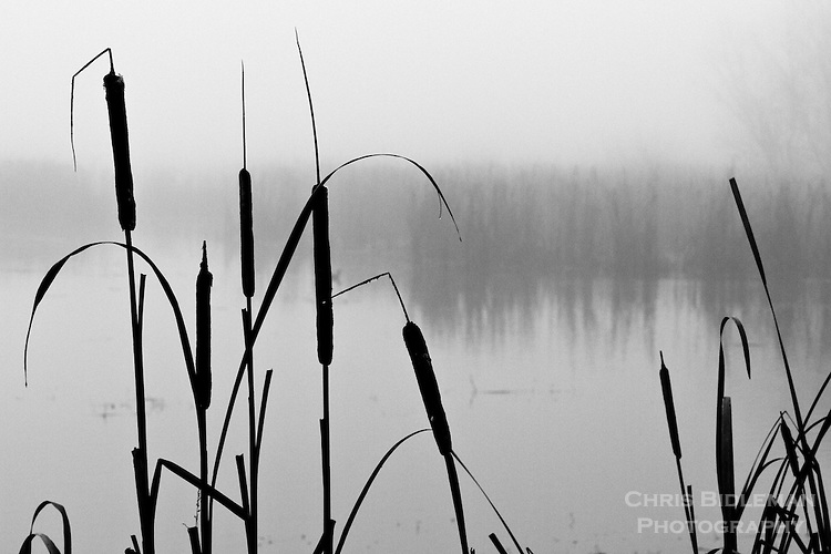 Black and white view of cattails in silhouette with foggy, misty pond in background and row of trees faintly seen across the pond.