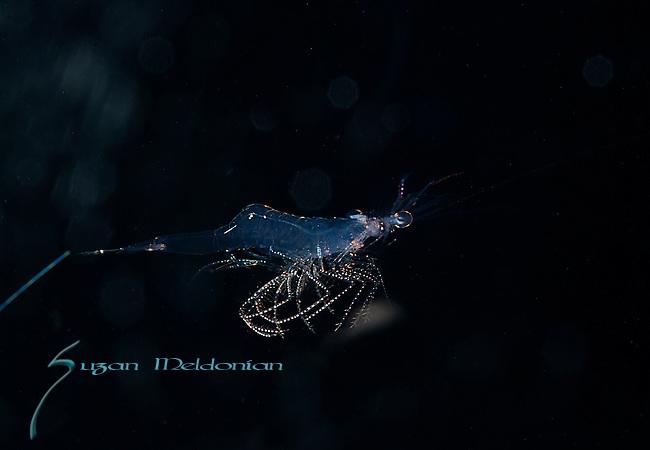 Shrimp, Black Water Diving, Atlantic Ocean, S.E. Florida, Gulfstream Current glide.