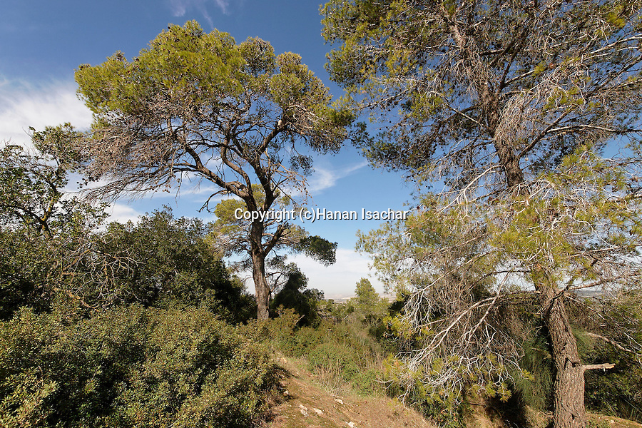 Israel, Jerusalem Mountains. Aleppo Pine trees in Hamasrek reserve.