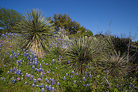 Bluebonnets surround yucca in Texas Hill Country