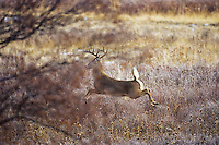 White-tailed deer (Odocoileus virginianus) buck running/jumping for cover.  Western U.S., late fall.
