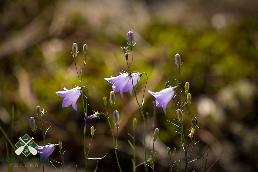 &quot;Harebell Flowers&quot;<br />