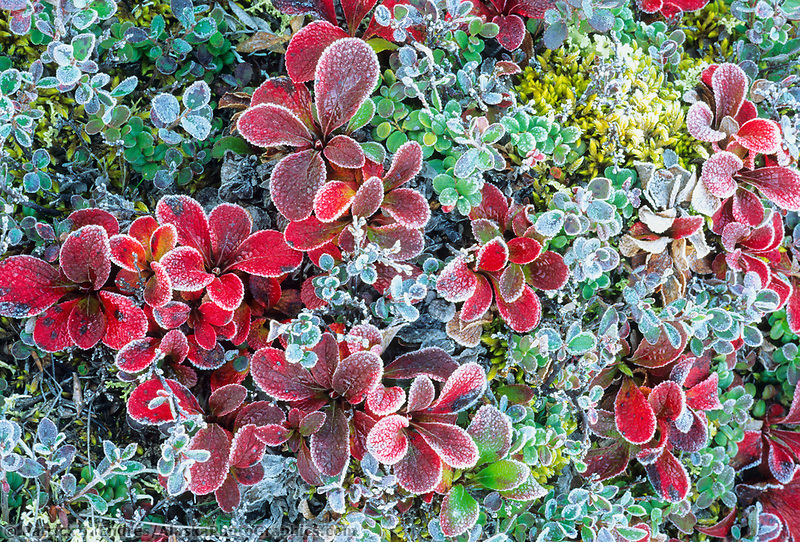 Morning frost on red bearberry, Denali National Park, Alaska
