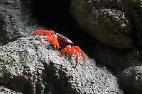 Red Crab at the Dales, Christmas Island, Indian Ocean