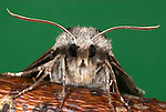 Pine Hawk Moth, Hyloicus pinastri, close up of face showing large eyes, and antennae, legs.United Kingdom....