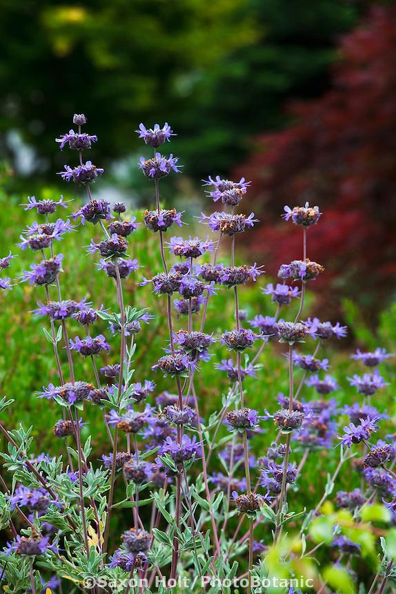 Salvia leucophylla (Purple sage, Gray sage) flowering in California native plant garden, Schino