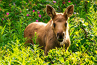 An adorable baby moose takes a break from feeding to offer an inquisitive glance near Kenai, Alaska.