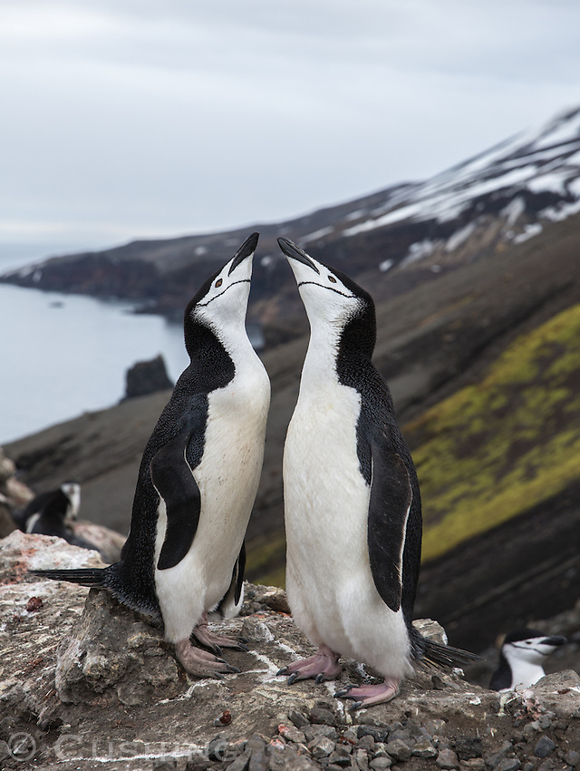 Two Chin Strap PenguinsSquaking at each other on Deception Island