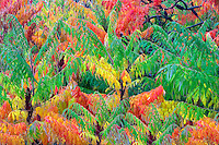 Cutleaf Sumac (Rhus glabra 'Laciniata) in fall color. Hoyt Arboretum. Portland, Oregon