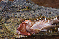 Nile crocodile with fish prey