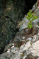 Horned Puffin in Resurrection Bay, near Seward, Alaska