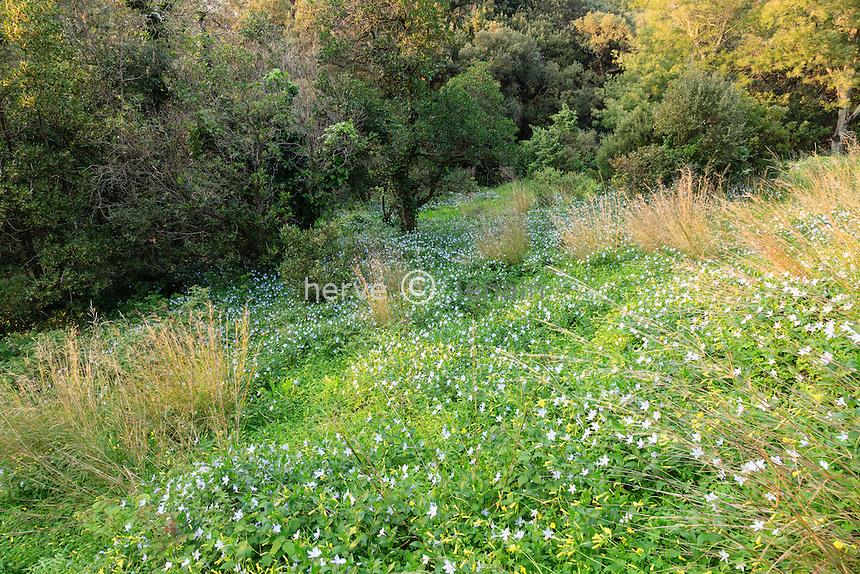 Le Domaine du Rayol: tapis de pervenche difforme (Vinca difformis) originaire du pourtour médirranéen et d'oxalis du Cap // France, Var, Le Domaine du Rayol: Vinca difformis, commonly called the Intermediate Periwinkle and Oxalis pes-caprae or Cape sorrel.