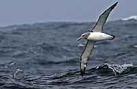 Salvin's Albatross in flight in the Southern Ocean