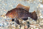 Centropristis striata, Black sea bass, Blue Heron Bridge, Florida