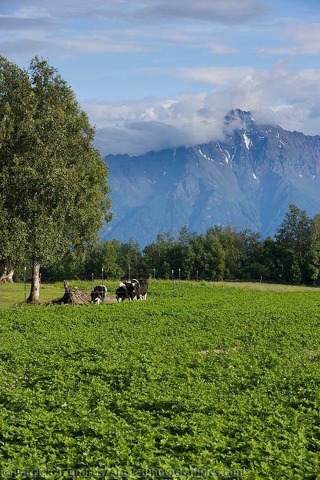 Dairy cows, Palmer, Alaska.