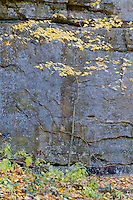 A Maple tree grows along and against a sandstone cliff wal in Illinois Canyon in Starved Rock State Park in LaSalle County, Illinois