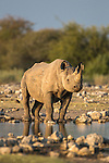 Black rhino (Diceros bicornis), Etosha National Park, Namibia, May 2013