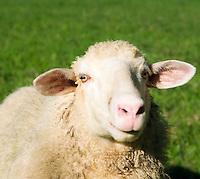 Austria, Upper Austria, Salzkammergut, Unterach am Attersee: sheep | Oesterreich, Oberoesterreich, Salzkammergut, Unterach am Attersee: Schaf
