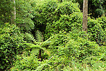 Dense undergrowth in forest, Murramarang National Park, New South Wales, Australia