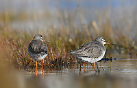 Redshank - Tringa totanus (left) and Spotted Redshank - Tringa erythropus (right)