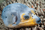 Misool, Raja Ampat, Indonesia; a blue and yellow blackspotted puffer fish resting on the coral reef