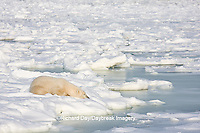 01874-11602 Polar Bear (Ursus maritimus) sleeping on ice, Hudson Bay, Churchill Wildlife Management Area,  MB