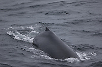 Humpback whale Megaptera novaeangliae surfacing South orkney islands, Scotia sea, Southern ocean, Antarctica