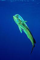 game fish, mahi mahi, dorado or dolphinfish Coryphaena hippurus Open ocean, Big Island, Hawaii, USA, Pacific Ocean