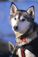 "L Fiedler's Dog """"Weasel"""" in Sun McGrath Iditarod 99 AK"""