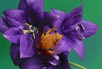 Cute tree frog sits on lovely purple flower - platycodon
