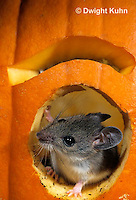 MU59-050z   White-Footed Mouse - on Jack-o-lantern -  Peromyscus leucopus