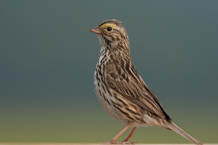 Savannah Sparrow (Passerculus sandwichensis). Anchorage Alaska. Photo by James R. Evans