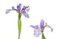 30099-00118 Blue Flag Iris (Iris versicolor) with white background, Marion Co., IL