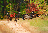 Courtesy photo/TERRY STANFILL<br /> Wild turkeys strut their stuff along a gravel lane. Terry Stanfill of the Decatur area took the picture Wednesday near Gentry.