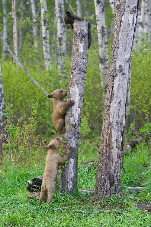 Black Bear Cubs playing on a snag