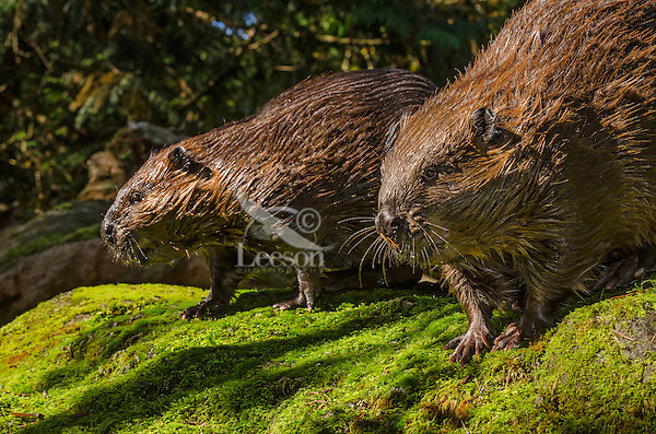 Two American Beavers (Castor canadensis) on large rock near pond.  Pacific Northwest.  Fall.