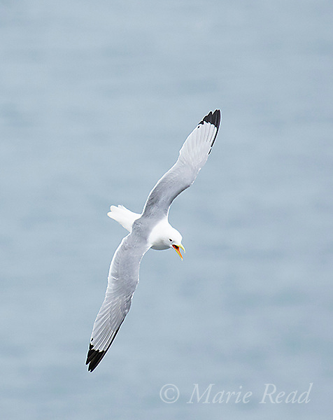 Black-legged Kittiwake (Rissa tridactyla) calling in flight, St. Paul Island, Pribilofs, Alaska, USA
