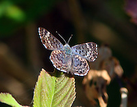 Female blue metalmark